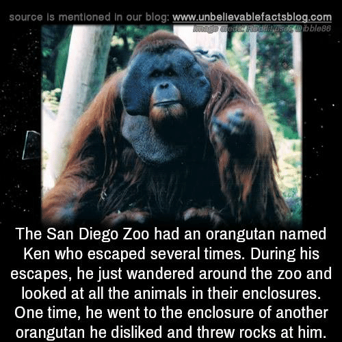 Animals, Ken, and Memes: source is mentioned in our blog: www.unbellevablefactsblog.com  serbble88  The San Diego Zoo had an orangutan named  Ken who escaped several times. During his  escapes, he just wandered around the zoo and  looked at all the animals in their enclosures  One time, he went to the enclosure of another  orangutan he disliked and threw rocks at him