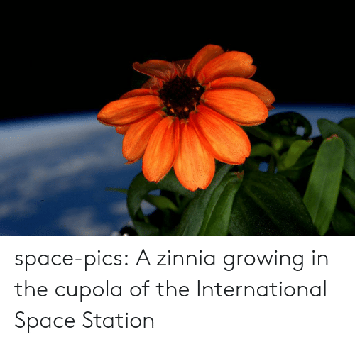 Tumblr, Blog, and Space: space-pics:  A zinnia growing in the cupola of the International Space Station