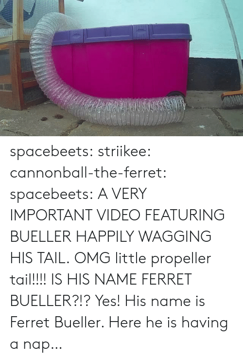 Ferret: spacebeets:  striikee:   cannonball-the-ferret:   spacebeets:  A VERY IMPORTANT VIDEO FEATURING BUELLER HAPPILY WAGGING HIS TAIL.  OMG little propeller tail!!!!   IS HIS NAME FERRET BUELLER?!?   Yes! His name is Ferret  Bueller. Here he is having a nap…