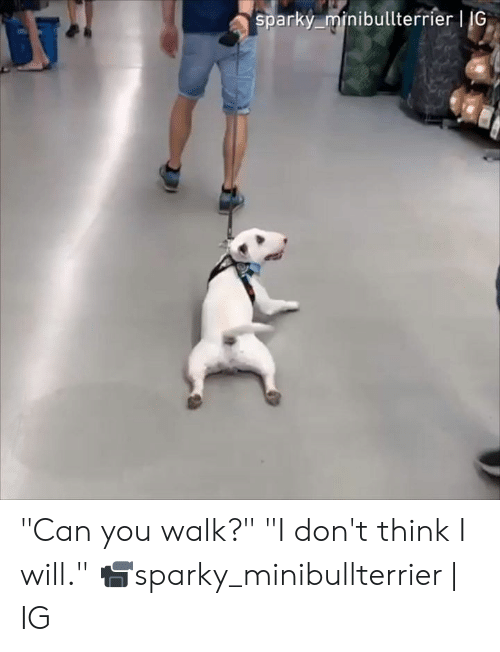 "Dank, 🤖, and Can: sparky minibullterrier | IG ""Can you walk?"" ""I don't think I will.""  📹sparky_minibullterrier 