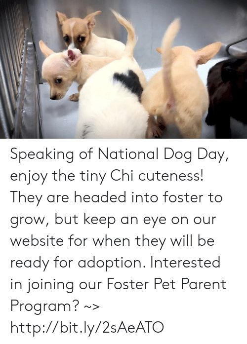 Memes, Http, and 🤖: Speaking of National Dog Day, enjoy the tiny Chi cuteness! They are headed into foster to grow, but keep an eye on our website for when they will be ready for adoption. Interested in joining our Foster Pet Parent Program? ~> http://bit.ly/2sAeATO