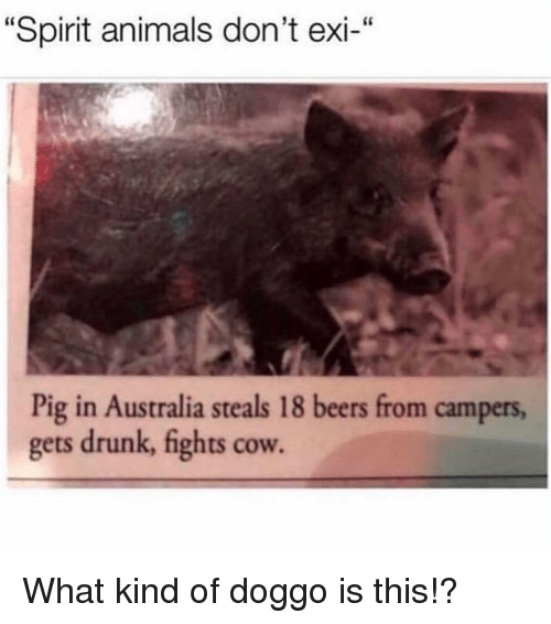 "Animals, Drunk, and Memes: ""Spirit animals don't exi-""  Pig in Australia steals 18 beers from campers,  gets drunk, fights cow. What kind of doggo is this!?"