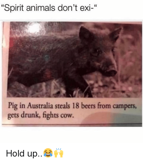 "Animals, Drunk, and Australia: ""Spirit animals don't exi-""  Pig in Australia steals 18 beers from campers  gets drunk, fights cow. Hold up..😂🙌"