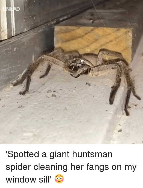 Dank, Spider, and Giant: 'Spotted a giant huntsman spider cleaning her fangs on my window sill' 😳
