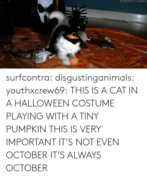 Halloween, Tumblr, and Blog: SPYBOOKITUMBLR surfcontra:  disgustinganimals:  youthxcrew69:  THIS IS A CAT IN A HALLOWEEN COSTUME PLAYING WITH A TINY PUMPKIN THIS IS VERY IMPORTANT  IT'S NOT EVEN OCTOBER  IT'S ALWAYS OCTOBER