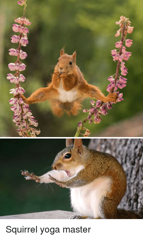 Squirrel, Yoga, and Master: Squirrel yoga master