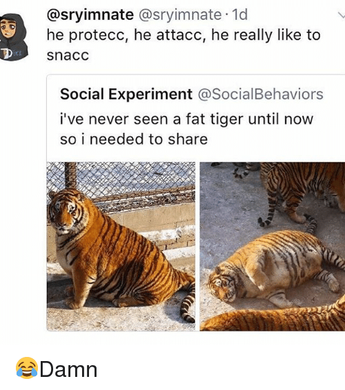 Memes, Tiger, and Fat: @sryimnate @sryimnate 1d  he protecc, he attacc, he really like to  snacc  /CL  Social Experiment @SocialBehaviors  i've never seen a fat tiger until now  so i needed to share 😂Damn