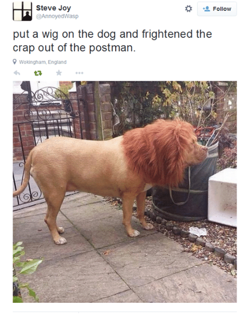 England, Memes, and Wigs: Steve Joy  Follow  @Annoyed Wasp  put a wig on the dog and frightened the  crap out of the postman.  9 Wokingham, England