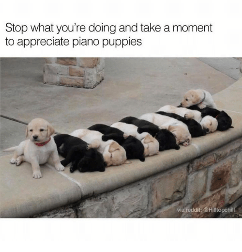 Memes, Puppies, and Appreciate: Stop what you're doing and take a moment  to appreciate piano puppies  via  dit  Hilltopchill