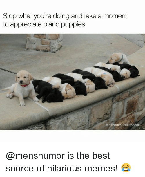 Funny, Puppies, and Appreciate: Stop what you're doing and take a moment  to appreciate piano puppies  via reddit: @Hilltopchill @menshumor is the best source of hilarious memes! 😂