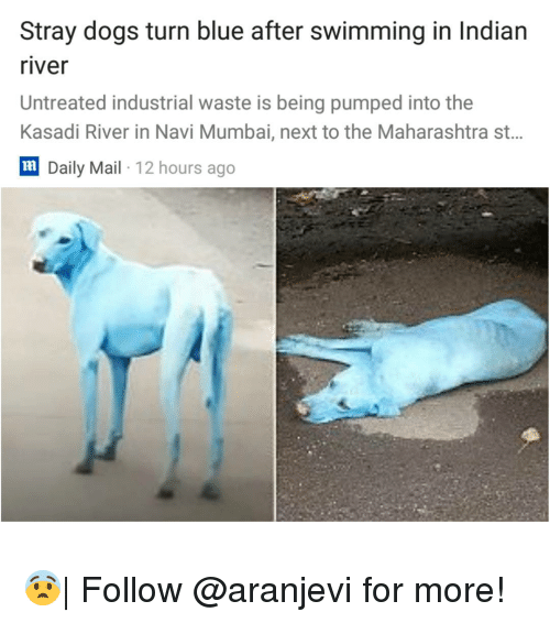Dogs, Memes, and Blue: Stray dogs turn blue after swimming in Indian  river  Untreated industrial waste is being pumped into the  Kasadi River in Navi Mumbai, next to the Maharashtra st..  lm  Daily Mail 12 hours ago 😨| Follow @aranjevi for more!