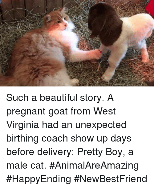 Unexpectable: Such a beautiful story. A pregnant goat from West Virginia had an unexpected birthing coach show up days before delivery: Pretty Boy, a male cat. #AnimalAreAmazing #HappyEnding #NewBestFriend