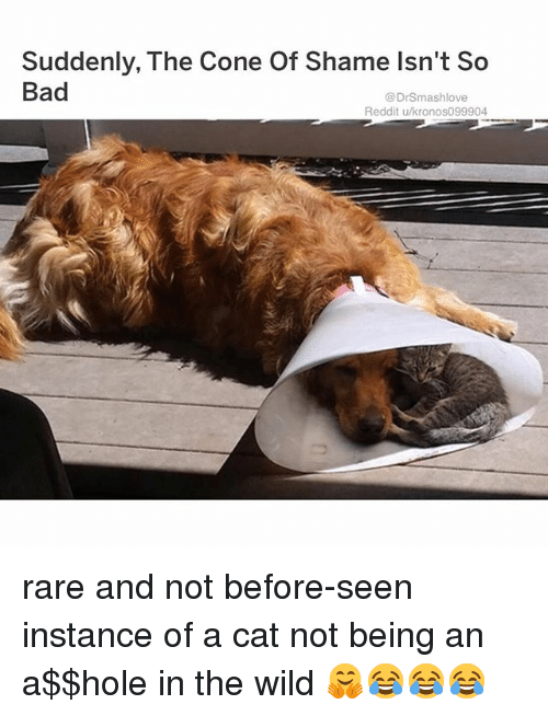 Bad, Memes, and Reddit: Suddenly, The Cone Of Shame lsn't So  Bad  @DrSmashlove  Reddit u/kronoso99904 rare and not before-seen instance of a cat not being an a$$hole in the wild 🤗😂😂😂