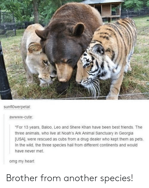 "Cubs: sunf10werpetal:  awwww-cute  ""For 13 years, Baloo, Leo and Shere Khan have been best friends. The  three animals, who live at Noah's Ark Animal Sanctuary in Georgia  [USA), were rescued as cubs from a drug dealer who kept them as pets.  In the wild, the three species hail from different continents and would  have never met.  omg my heart Brother from another species!"
