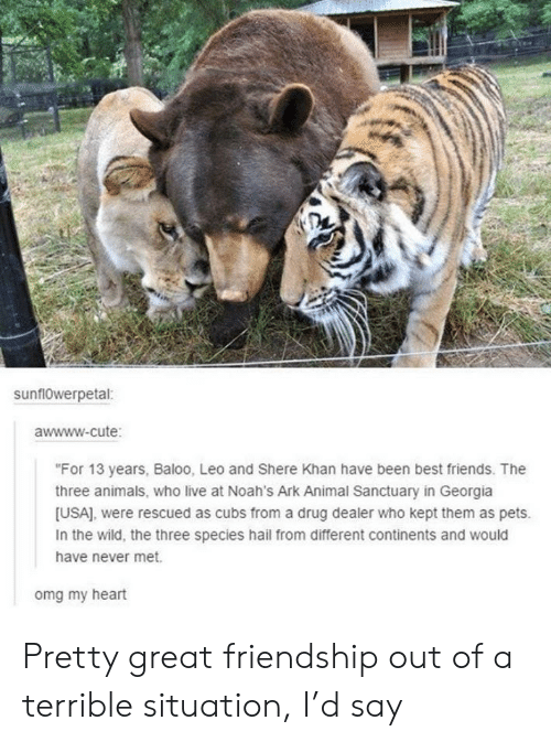 "Drug dealer: sunflowerpetal:  awwww-cute:  ""For 13 years, Baloo, Leo and Shere Khan have been best friends. The  three animals, who live at Noah's Ark Animal Sanctuary in Georgia  [USA], were rescued as cubs from a drug dealer who kept them as pets.  In the wild, the three species hail from different continents and would  have never met.  omg my heart Pretty great friendship out of a terrible situation, I'd say"