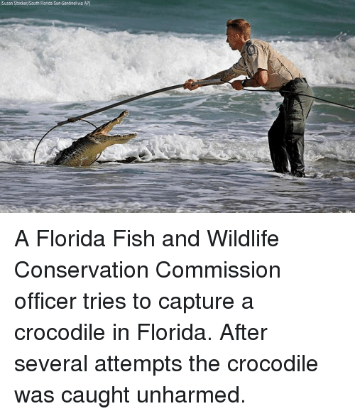 Memes, Fish, and Florida: Susan Stocker/South Florida Sun-Sentinel via AP) A Florida Fish and Wildlife Conservation Commission officer tries to capture a crocodile in Florida. After several attempts the crocodile was caught unharmed.