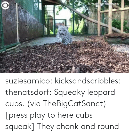 media: suziesamico:  kicksandscribbles:  thenatsdorf: Squeaky leopard cubs. (via TheBigCatSanct) [press play to here cubs squeak]    They chonk and round