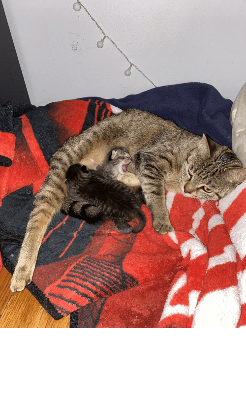 willow: Sweet mama Mosie and her 4 day old kittens, Poppy and Willow 🥱