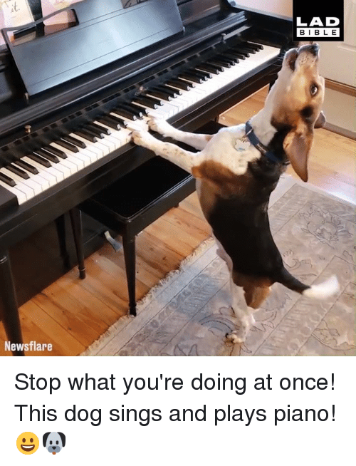 Dank, Piano, and 🤖: t.  LAD  BIBL E  Newsflare Stop what you're doing at once! This dog sings and plays piano! 😀🐶