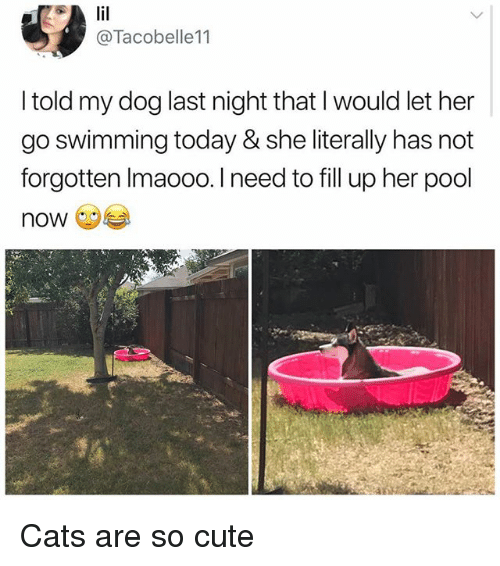 Cats, Cute, and Memes: @Tacobelle11  I told my dog last night that l would let her  go swimming today & she literally has not  forgotten Imaooo. I need to fill up her pool  now Cats are so cute