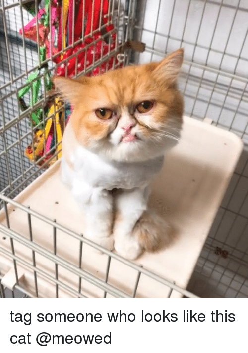 Tag Someone Who Looks Like This: tag someone who looks like this cat @meowed