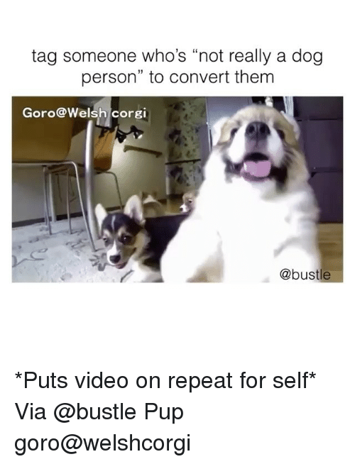"Convertable: tag someone who's ""not really a dog  person"" to convert them  Goro@Welsh corgi  @bustle *Puts video on repeat for self* Via @bustle Pup goro@welshcorgi"