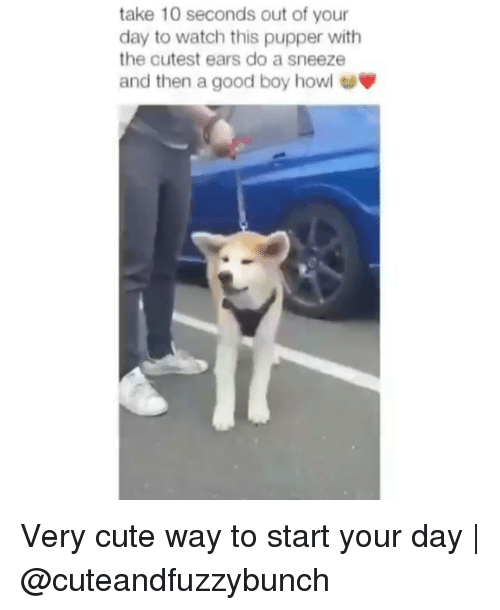 Cute, Memes, and Good: take 10 seconds out of your  day to watch this pupper with  the cutest ears do a sneeze  and then a good boy howl Very cute way to start your day | @cuteandfuzzybunch
