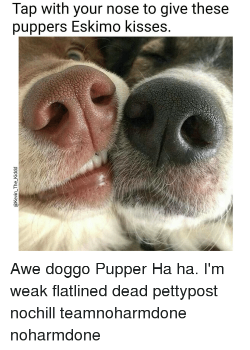 Memes, 🤖, and Eskimo: Tap with your nose to give these  puppers Eskimo kisses. Awe doggo Pupper Ha ha. I'm weak flatlined dead pettypost nochill teamnoharmdone noharmdone