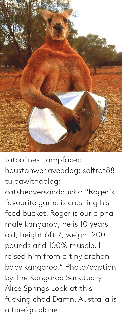 "Facebook, Fucking, and Gif: tatooiines: lampfaced:  houstonwehaveadog:  saltrat88:  tulpawithablog:  catsbeaversandducks:  ""Roger's favourite game is crushing his feed bucket! Roger is our alpha male kangaroo, he is 10 years old, height 6ft 7, weight 200 pounds and 100% muscle. I raised him from a tiny orphan baby kangaroo."" Photo/caption by The Kangaroo Sanctuary Alice Springs   Look at this fucking chad    Damn.   Australia is a foreign planet."