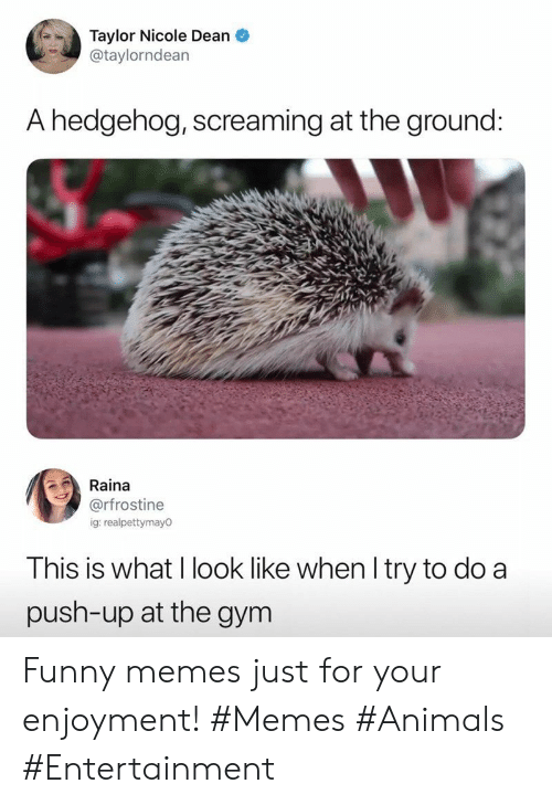 Animals, Funny, and Gym: Taylor Nicole Dean  @taylorndean  A hedgehog, screaming at the ground:  Raina  @rfrostine  ig: realpettymay0  This is what I look like when I try to do a  push-up at the gym Funny memes just for your enjoyment! #Memes #Animals #Entertainment