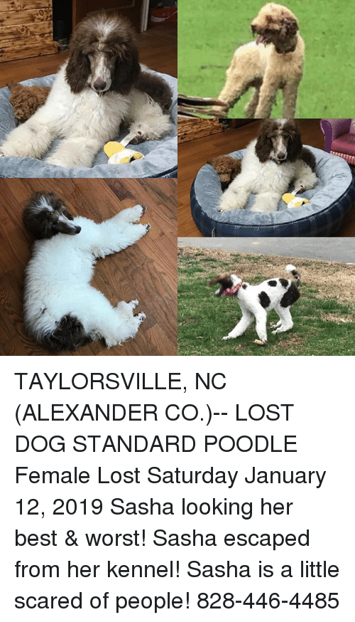 Memes, Lost, and Best: TAYLORSVILLE, NC (ALEXANDER CO.)-- LOST DOG  STANDARD POODLE Female Lost Saturday January 12, 2019 Sasha looking her best & worst! Sasha escaped from her kennel! Sasha is a little scared of people!  828-446-4485