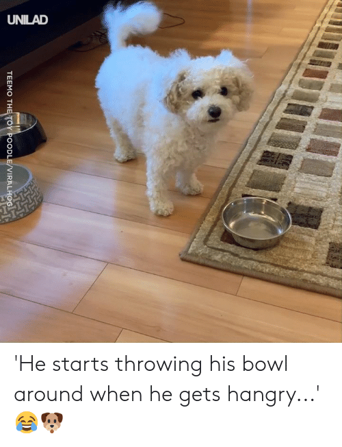 Dank, Bowl, and 🤖: TEEMO THE TOY POODLE/VIRALHO 'He starts throwing his bowl around when he gets hangry...' 😂🐶