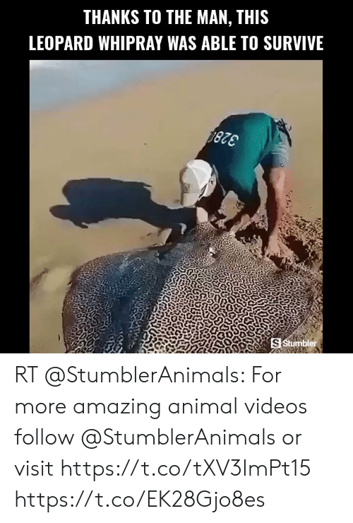 Animal Videos: THANKS TO THE MAN, THIS  LEOPARD WHIPRAY WAS ABLE TO SURVIVE  S Stumbler RT @StumblerAnimals: For more amazing animal videos follow @StumblerAnimals or visit https://t.co/tXV3ImPt15 https://t.co/EK28Gjo8es