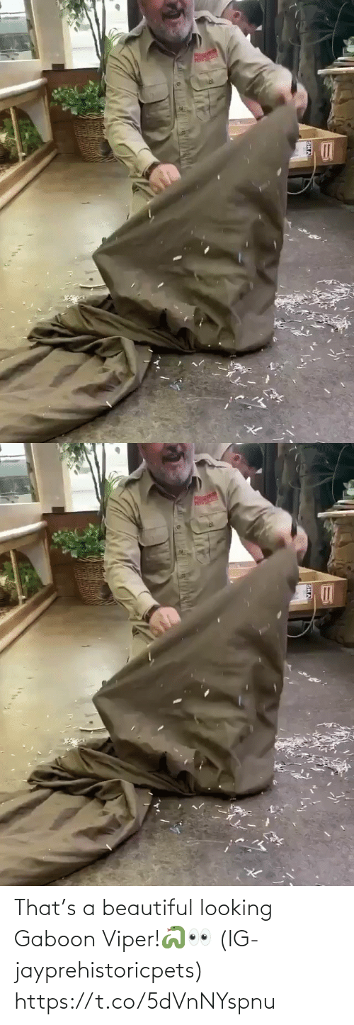 beautiful: That's a beautiful looking Gaboon Viper!🐍👀 (IG-jayprehistoricpets) https://t.co/5dVnNYspnu