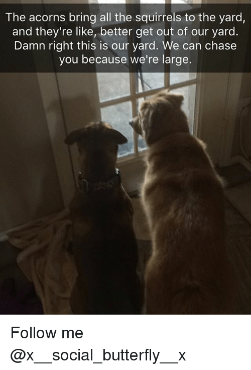 Chase You: The acorns bring all the squirrels to the yard,  and they're like, better get out of our yard  Damn right this is our yard. We can chase  you because we're large. Follow me @x__social_butterfly__x