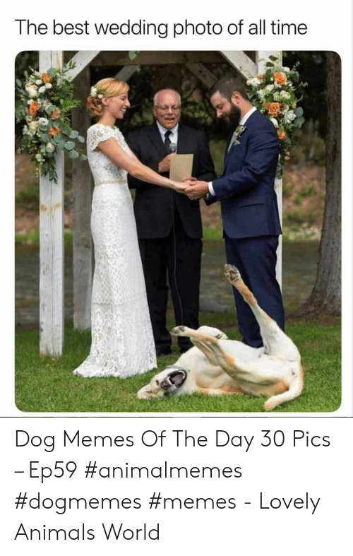 Dog Memes: The best wedding photo of all time Dog Memes Of The Day 30 Pics – Ep59 #animalmemes #dogmemes #memes - Lovely Animals World