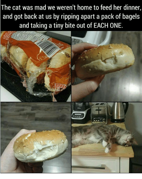 Memes, Home, and Mad: The cat was mad we weren't home to feed her dinner,  and got back at us by ripping apart a pack of bagels  and taking a tiny bite out of EACH ONE.