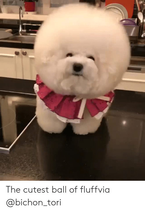 Tori: The cutest ball of fluffvia @bichon_tori