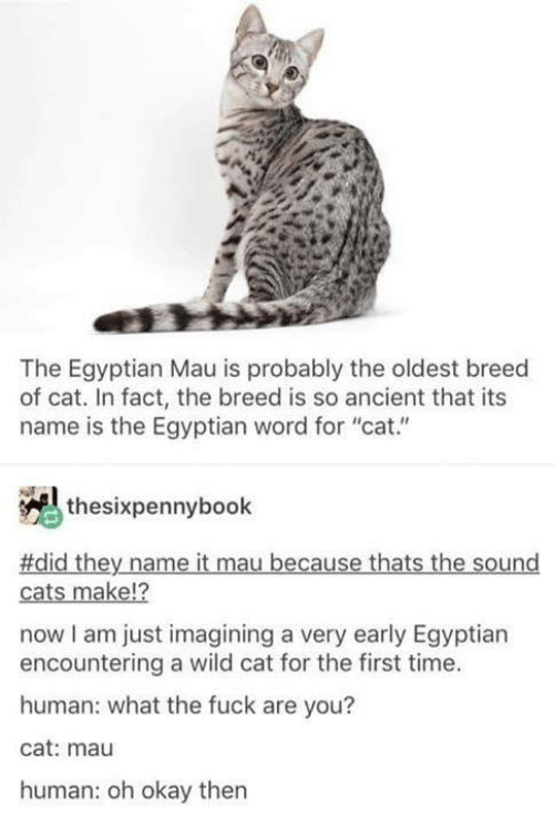 "Cats, Memes, and Fuck: The Egyptian Mau is probably the oldest breed  of cat. In fact, the breed is so ancient that its  name is the Egyptian word for ""cat.""  thesixpennybook  #did they name it mau because thats the sound  12  cats make!?  now I am just imagining a very early Egyptian  encountering a wild cat for the first time.  human: what the fuck are you?  cat: mau  human: oh okay then"
