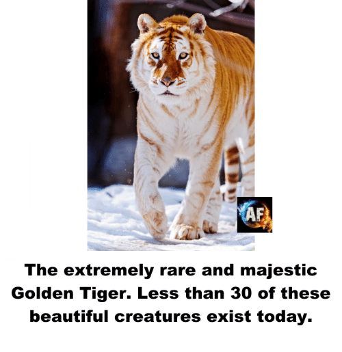 Majesticity: The extremely rare and majestic  Golden Tiger. Less than 30 of these  beautiful creatures exist today.