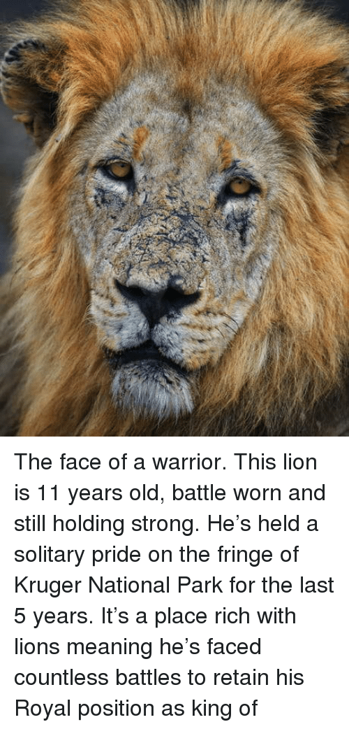 Lion, Lions, and Meaning: The face of a warrior. This lion is 11 years old, battle worn and still holding strong. He's held a solitary pride on the fringe of Kruger National Park for the last 5 years. It's a place rich with lions meaning he's faced countless battles to retain his Royal position as king of