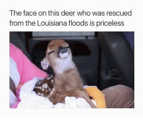 Deer, Louisiana, and Who: The face on this deer who was rescued  from the Louisiana floods is priceless