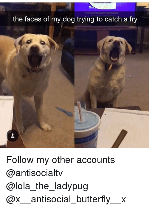 dogged: the faces of my dog trying to catch a fry Follow my other accounts @antisocialtv @lola_the_ladypug @x__antisocial_butterfly__x