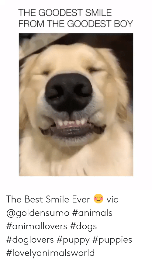 Animals, Dogs, and Puppies: THE GOODEST SMILE  FROM THE GOODEST BOY The Best Smile Ever 😊 via @goldensumo #animals #animallovers #dogs #doglovers #puppy #puppies #lovelyanimalsworld