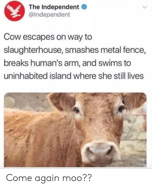cow: The Independent  @Independent  Cow escapes on way to  slaughterhouse, smashes metal fence,  breaks human's arm, and swims to  uninhabited island where she still lives Come again moo??