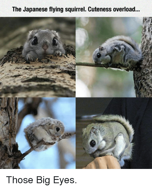 Squirrel, Japanese, and Big: The Japanese flying squirrel. Cuteness overload... <p>Those Big Eyes.</p>