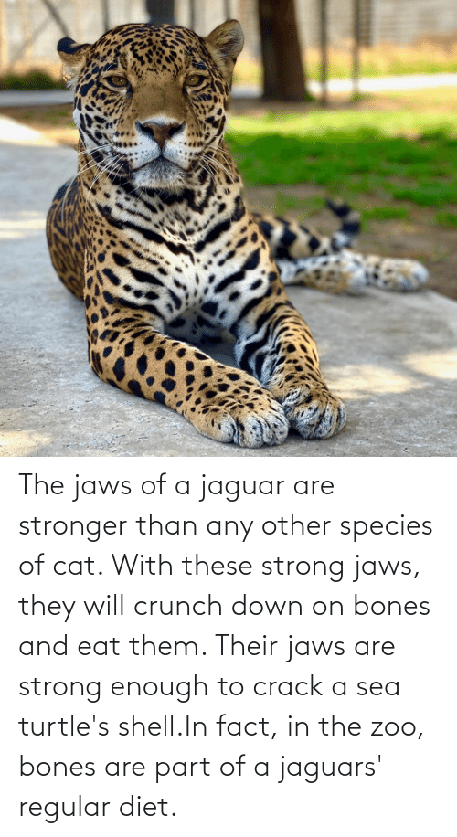 jaguars: The jaws of a jaguar are stronger than any other species of cat. With these strong jaws, they will crunch down on bones and eat them. Their jaws are strong enough to crack a sea turtle's shell.In fact, in the zoo, bones are part of a jaguars' regular diet.