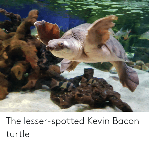 Bacon: The lesser-spotted Kevin Bacon turtle