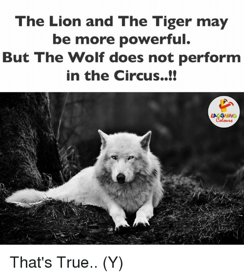 Lion, Lions, and Tiger: The Lion and The Tiger may  be more powerful.  But The Wolf does not perform  in the Circus. That's True.. (Y)