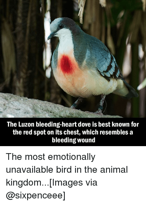 Resemblant: The Luzon bleeding-heart dove is best known for  the red spot on its chest, which resembles a  bleeding Wound The most emotionally unavailable bird in the animal kingdom...[Images via @sixpenceee]